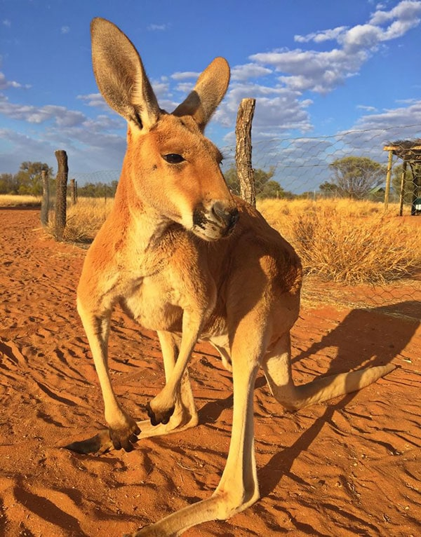 Kangaroo - Alice Springs - Australian Outback