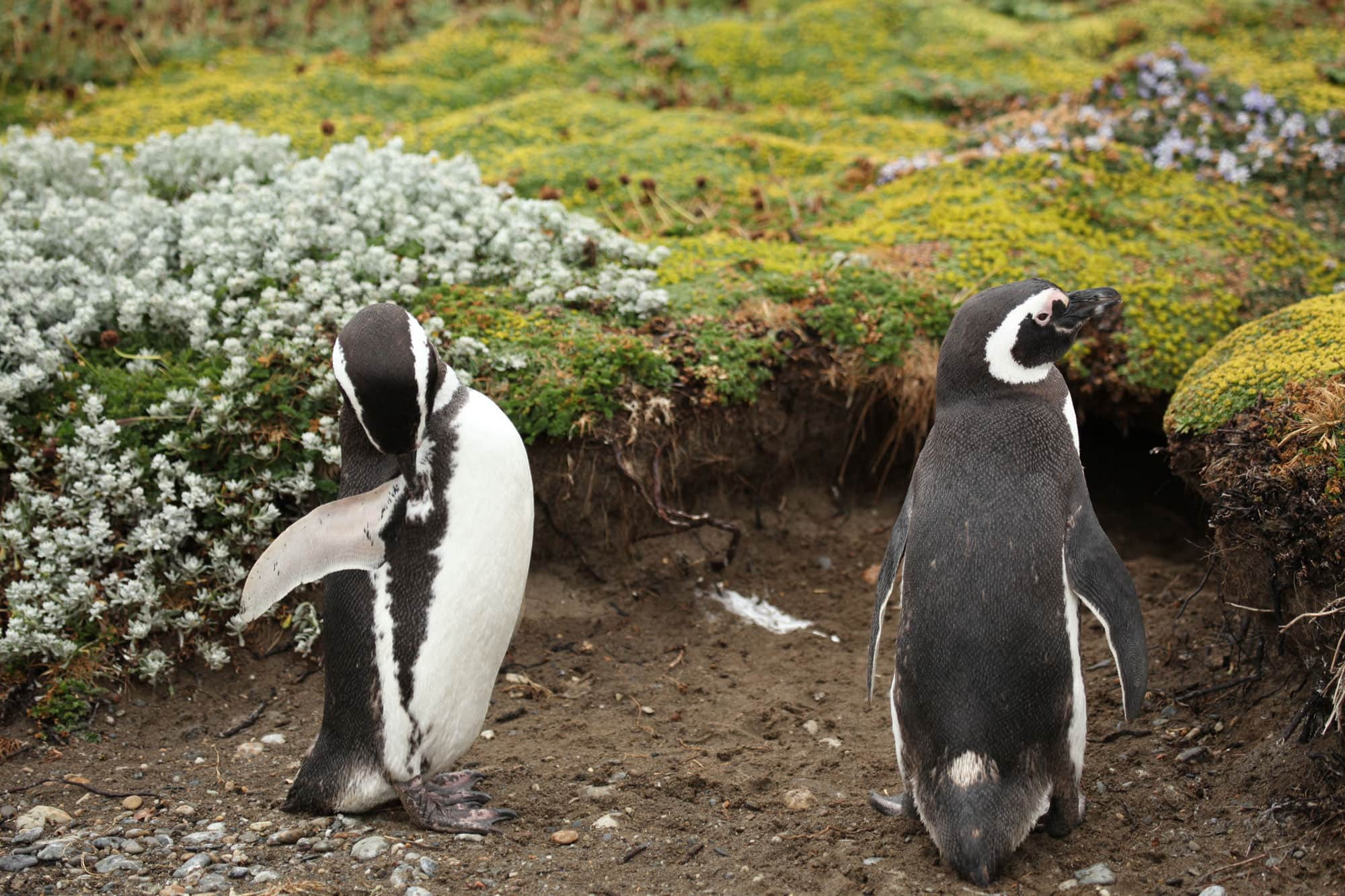 Samantha's Hangs Out With Penguins In Punta Arenas, Chile